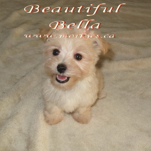 Bella Morkie sold to Shasha http://www.morkies.ca