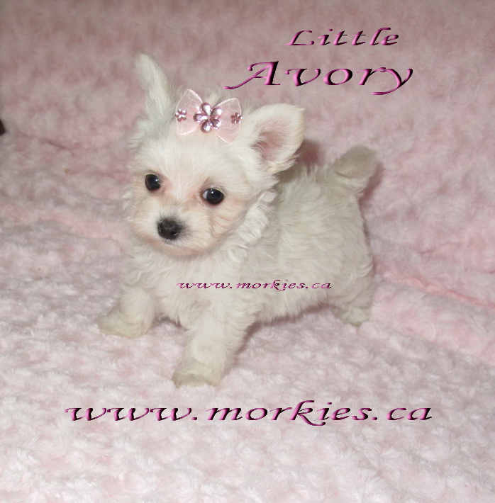 Avory Gorgeous teacup morkie is sold to Sandra