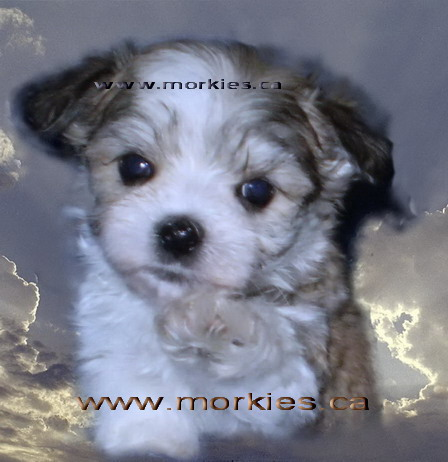 Morkie Puppies on More Toy Morkie Puppies From Morkies Ca Your Canadian Morkie Breeder