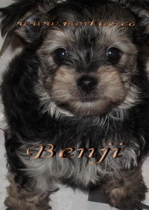 teacup morkie puppy