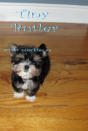 Tiny teacup morkie puppy is for sale http://www.morkies.ca