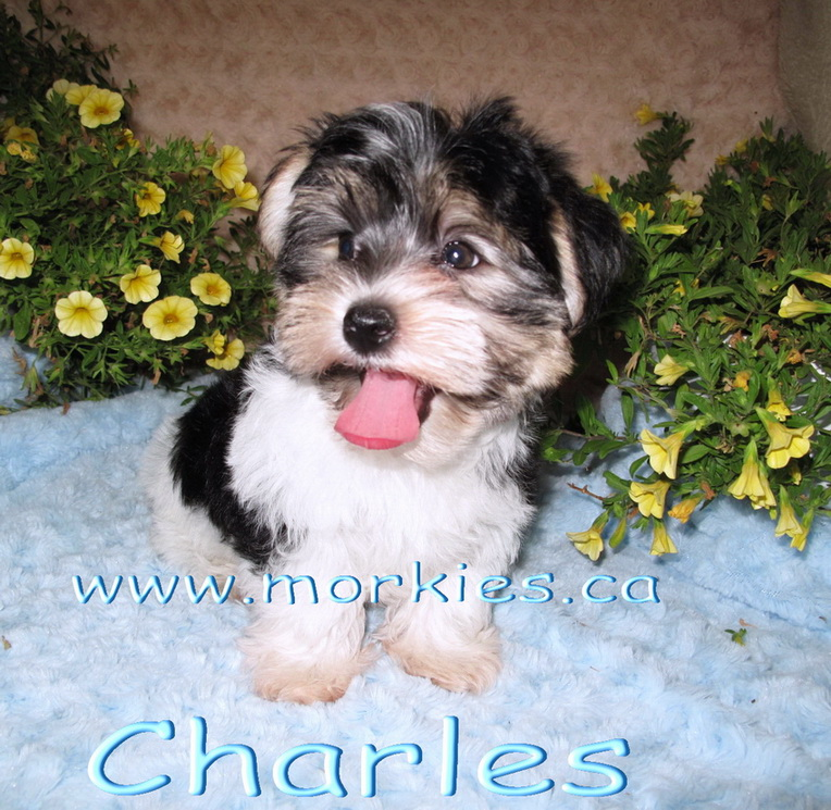 Charles Morkie puppy is sold. http://www.morkies.ca