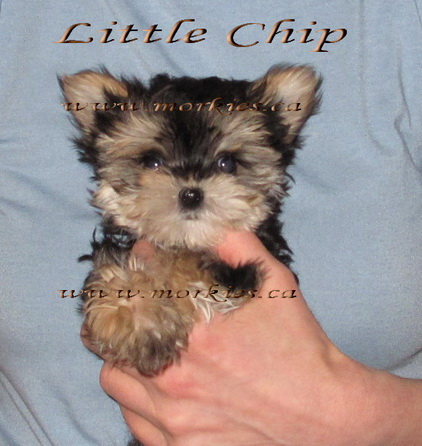 Teacup Morkie Chip is sold to Carmen