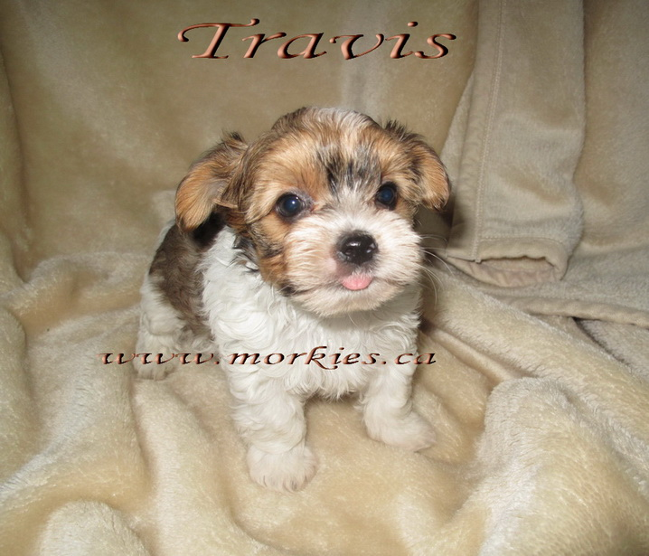 I'm too cute! I'm a white and gold morkie. I've been adopted by Wendy. .