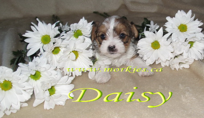 Daisy Morkie is sold to Jennefer and her family from Markham