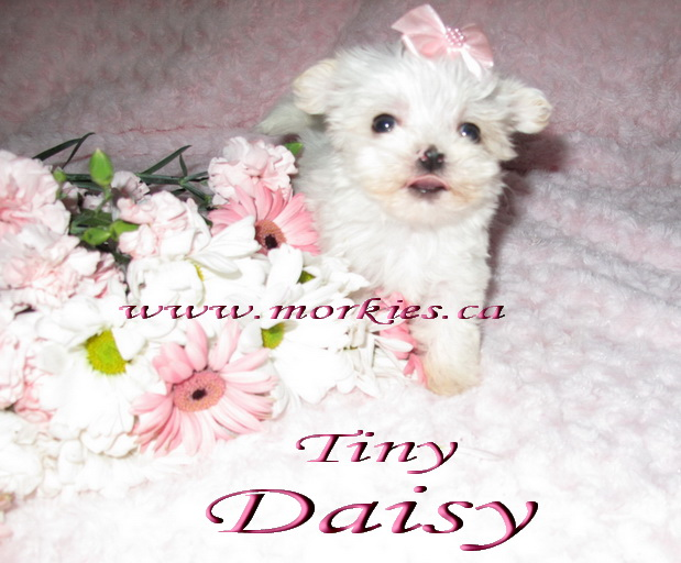 White Teacup Morkie http://www.morkies.ca