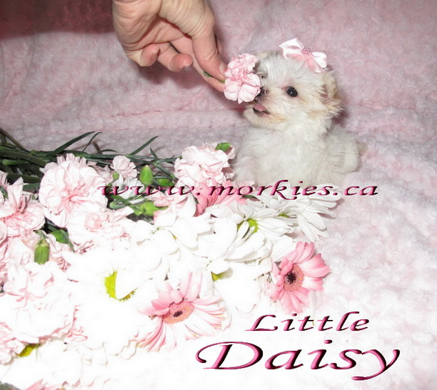 Teacup white morkie Daisy is sold http://www.morkies.ca