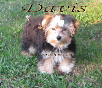 Davis male Morkie is sold to a well known physician & his lovely wife from Toronto www.morkies.ca