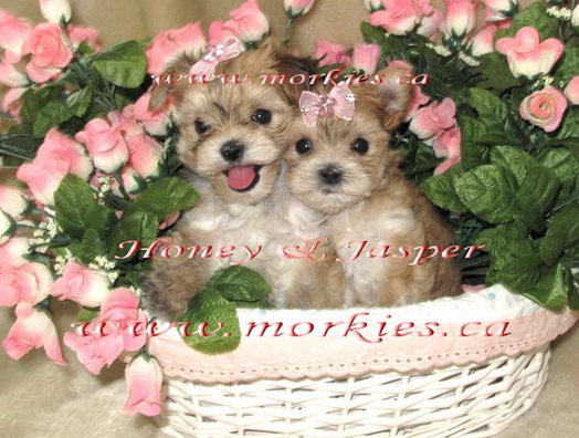 We breed beautiful healthy morkie puppies at www.morkies.ca