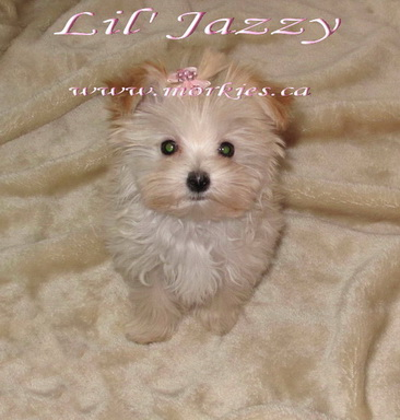 Gorgeous blonde teacup morkie Jazzy is sold  http://www.morkies.ca