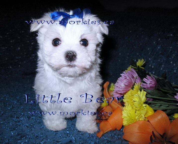 Little Bear is for sale at http://www.morkies.ca