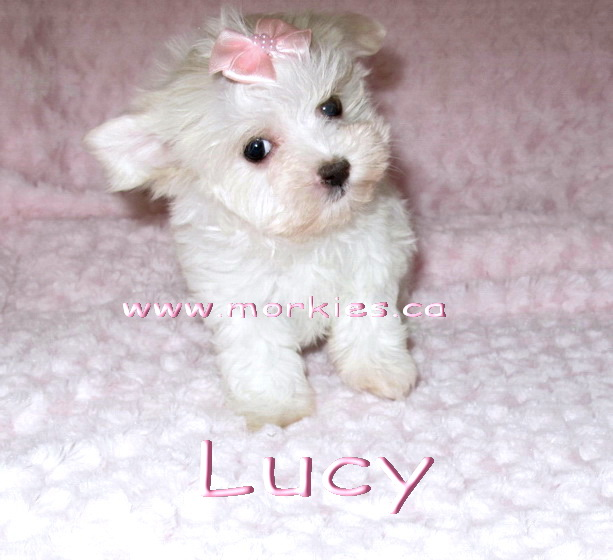Lucy is white female morkie is for sale, http://www.morkies.ca