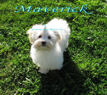 Maverick Morkie is sold to Christine and family from Alliston