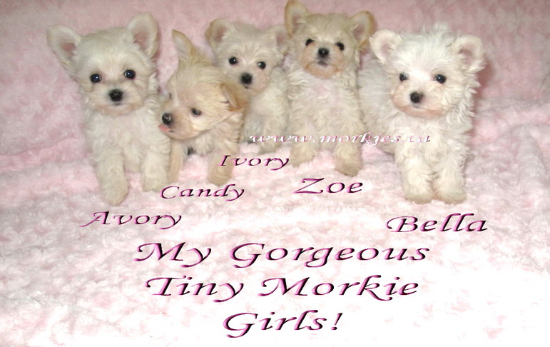 Gorgeous morkie puppies from http://www.morkies.ca