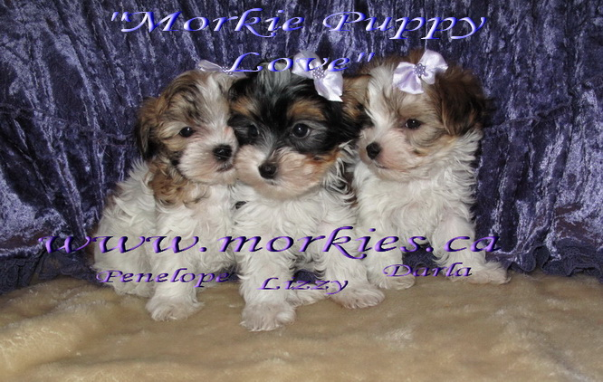 Morkie puppies for sale at http://www.morkies.ca