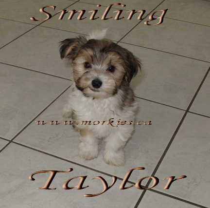 Happy Morkie Puppy Taylor adopted to Sheron and Sim http://www.morkies.ca