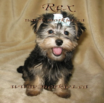 Haopy black and tan Morkie Rex is sold from http://www.morkies.ca