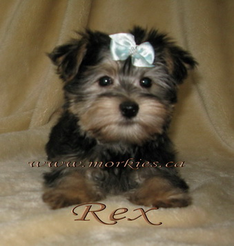 tri color morkie Rex is sold
