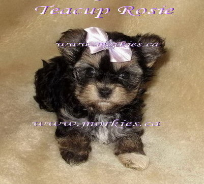 Morkie Puppies on Morkie Puppies Teacup Morkies Yorktese Linnois Direct From Toronto