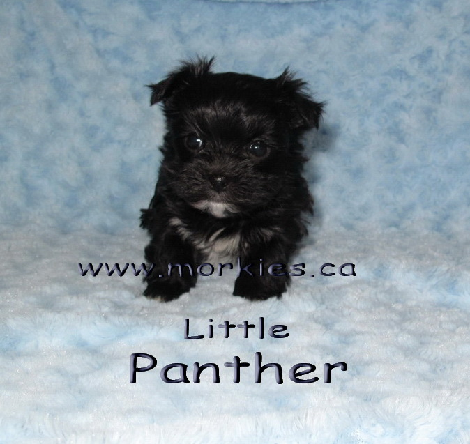 Panther is for sale