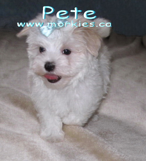 Pete Nu Nu white morkie puppy is sold.