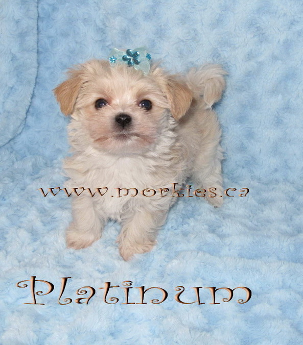 Blond yorkie maltese morkie is from http:www.morkies.ca