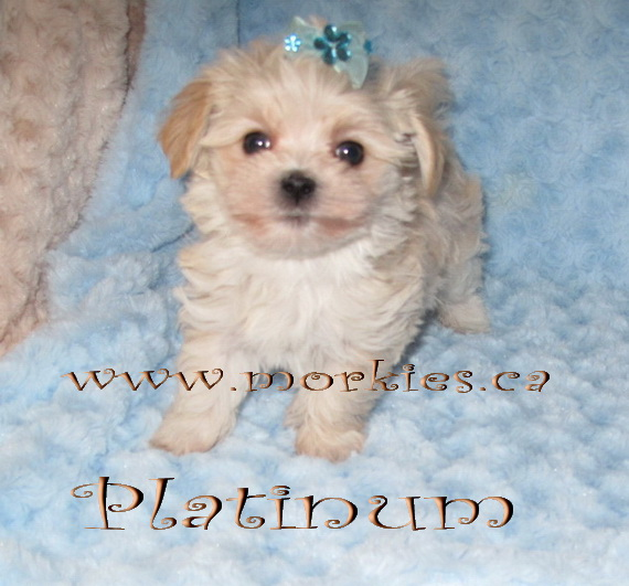 Platinum Morkie puppy is from http://www.morkies.ca