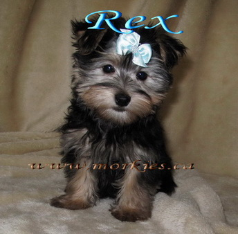 Cute Morkie puppies for sale at http://www.morkies.ca