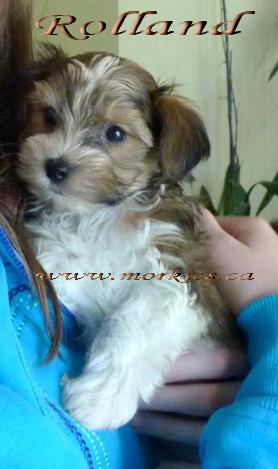 Mackenzie's Rolland Morkie as a puppy