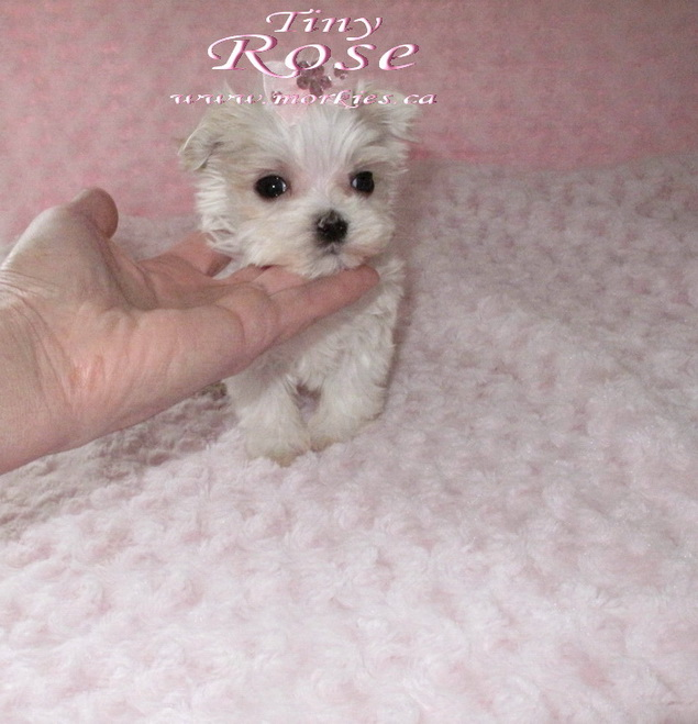 Tiny Teacup morkie is for sale http://morkies.ca