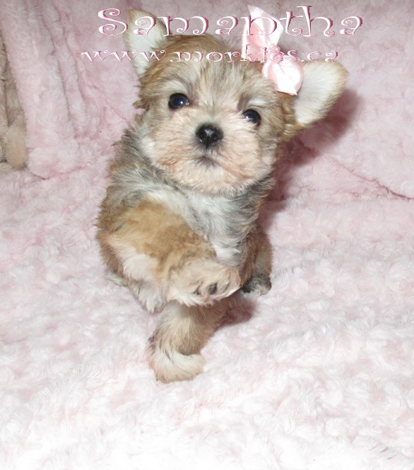 Gorgeous teacup female Morkie Samantha