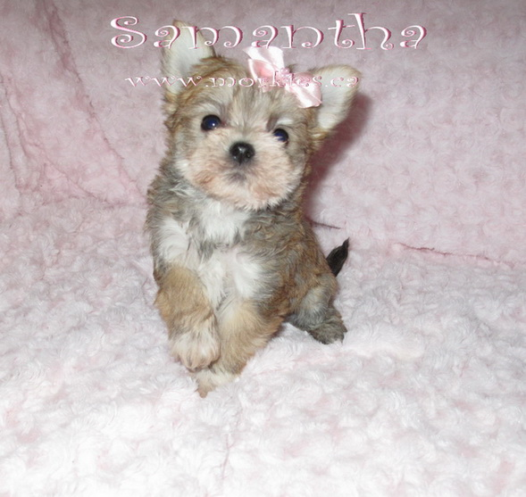 Little Samantha morkie is from http://www.morkies.ca