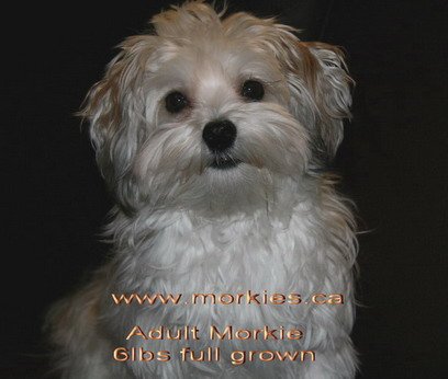 Adult gold and white Morkie