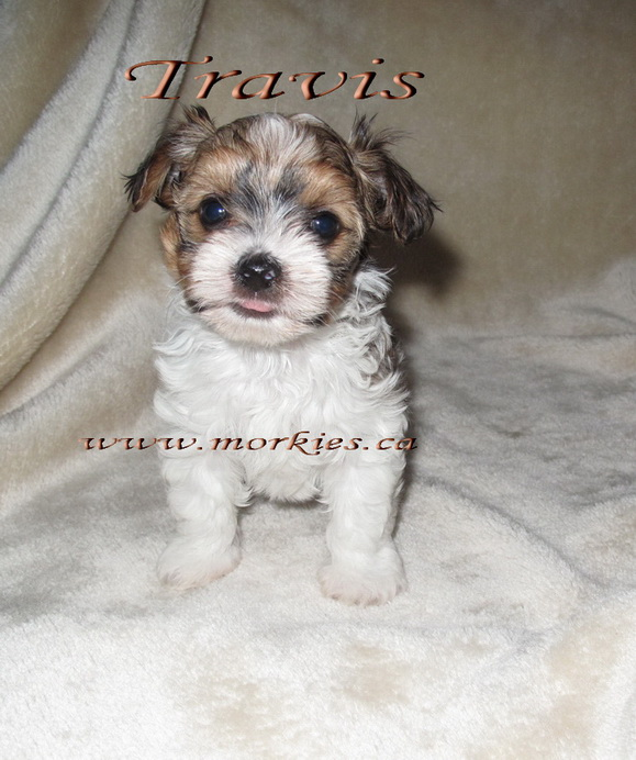 Gorgeous morkie Travis is sold. http://www.morkies.ca