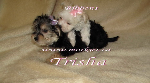Amazing morkie puppy, Trisha lets tiiny Ribbons climb on top of her! Little Ribbons white Morkie is for sale.