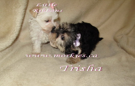 Trisha is so gentle for Ribbons, morkie female is available