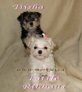 Teacup Ribbons white morkie is sold