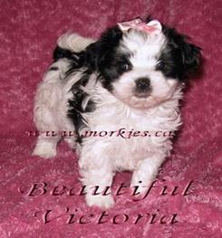 Bihan's little Princess Morkie